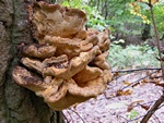 Chicken of the Woods (Laetiporus sulphureus)